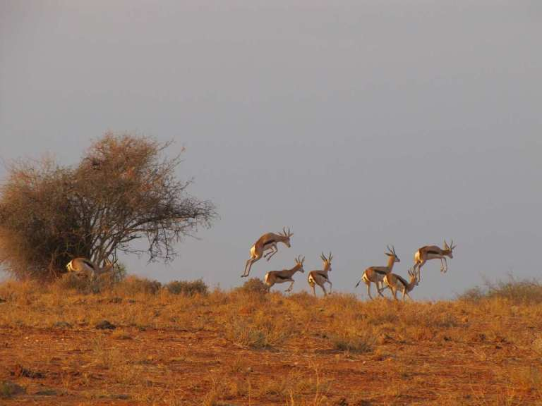 a herd of springbok