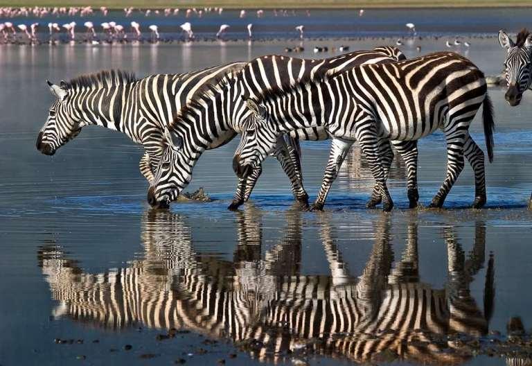 Zebra on a waterhole