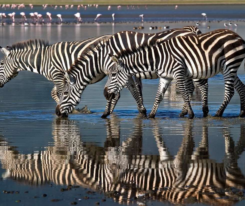 Zebra on a waterhole