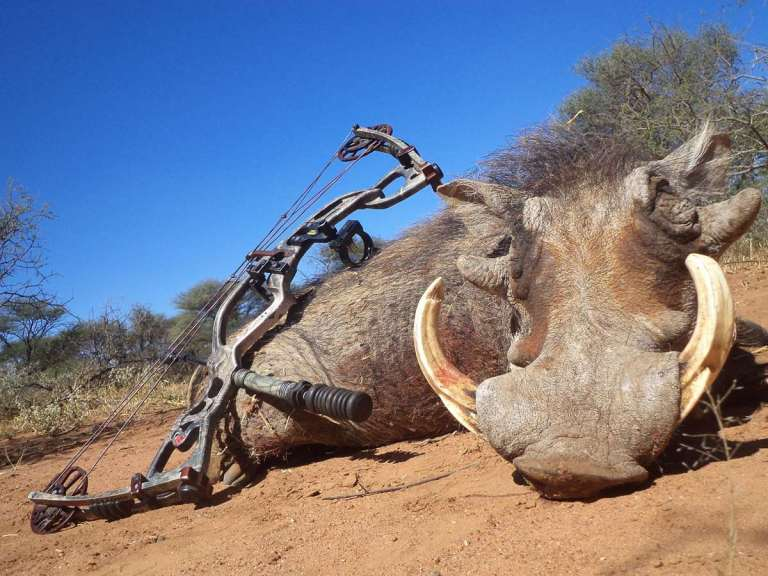Warthog taken with a bow