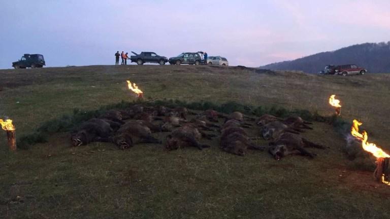 Trophies of European driven boar hunt