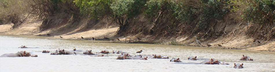 hippos and birds on a river in Africa