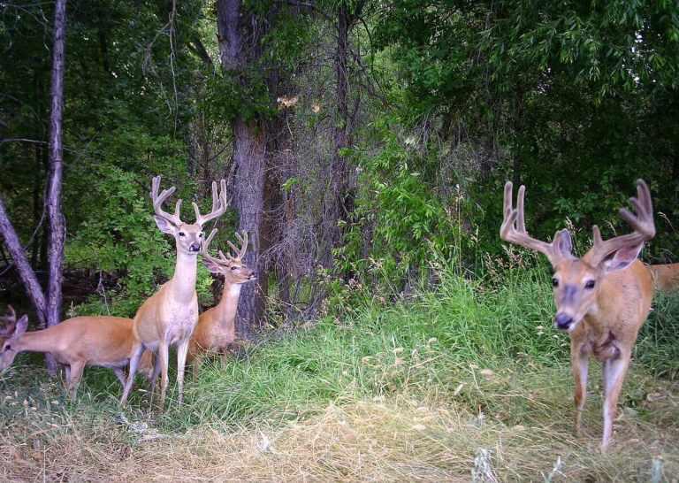 whitetailed deer bucks in velvet