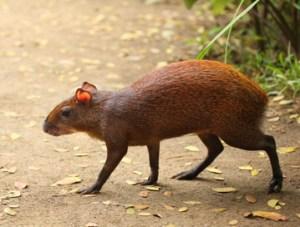 Central American Agouti