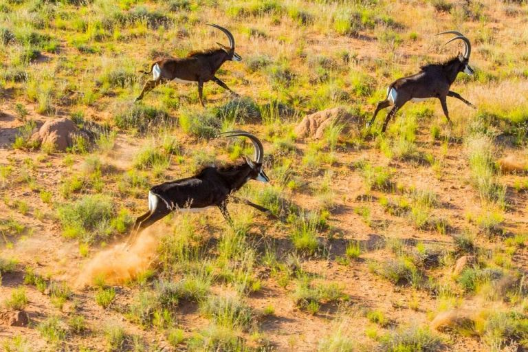 A herd of sable antelope running