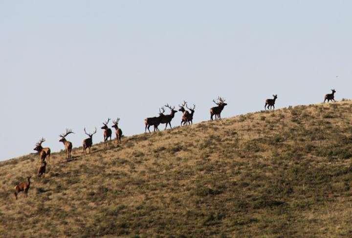 an elk herd in Montana