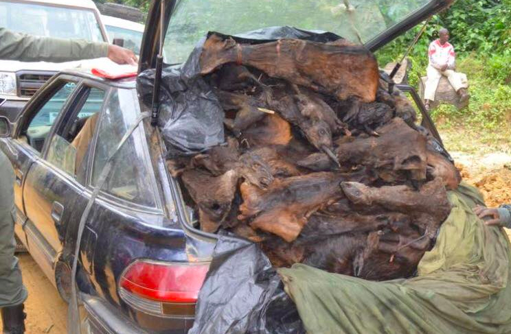 A poachers car with dead Suni