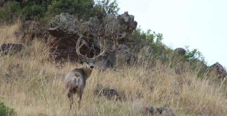 A nice mule deer with antlers in velvet