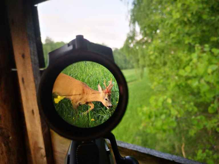 A roebuck in the sights of a hunter
