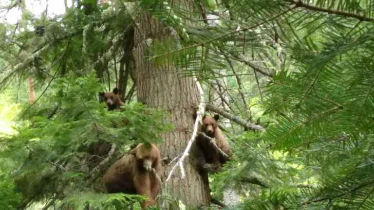 Three bears on a tree