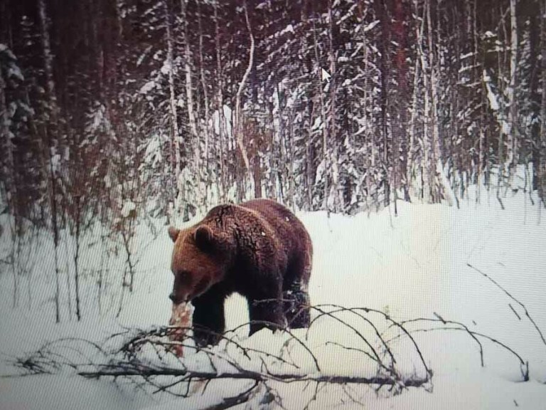 Brown bear at a bait site in Russia