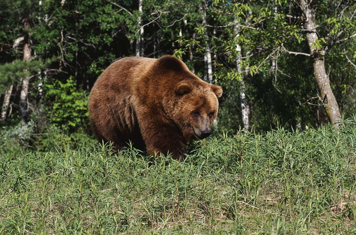A huge brown bear