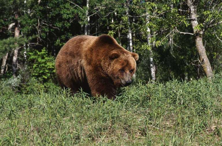 A huge brown bear