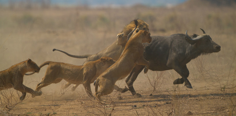 a pride of lions attacking a buffalo