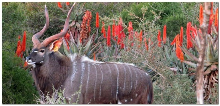 A Nyala bull on the background of red flowers