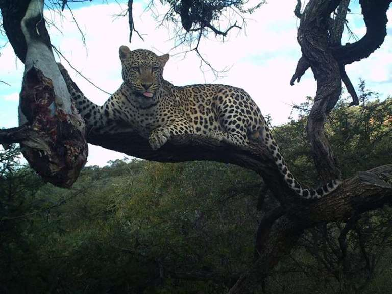 A big African leopard came to a bait