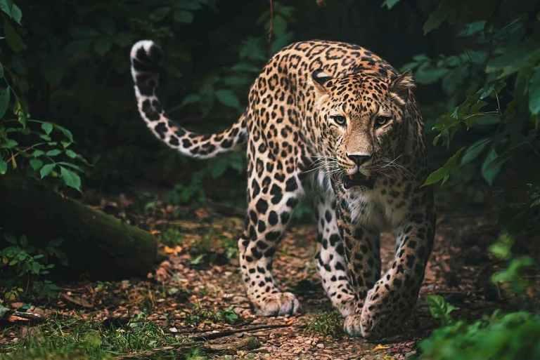 A beautiful male leopard