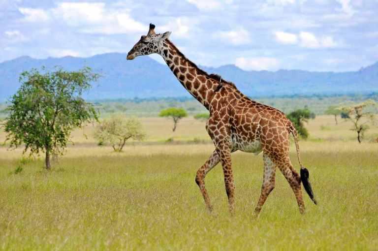 Everybody likes to look at giraffe
