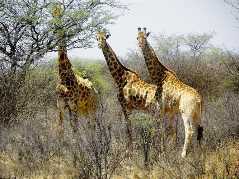 Giraffe live in small herds without strong social ties