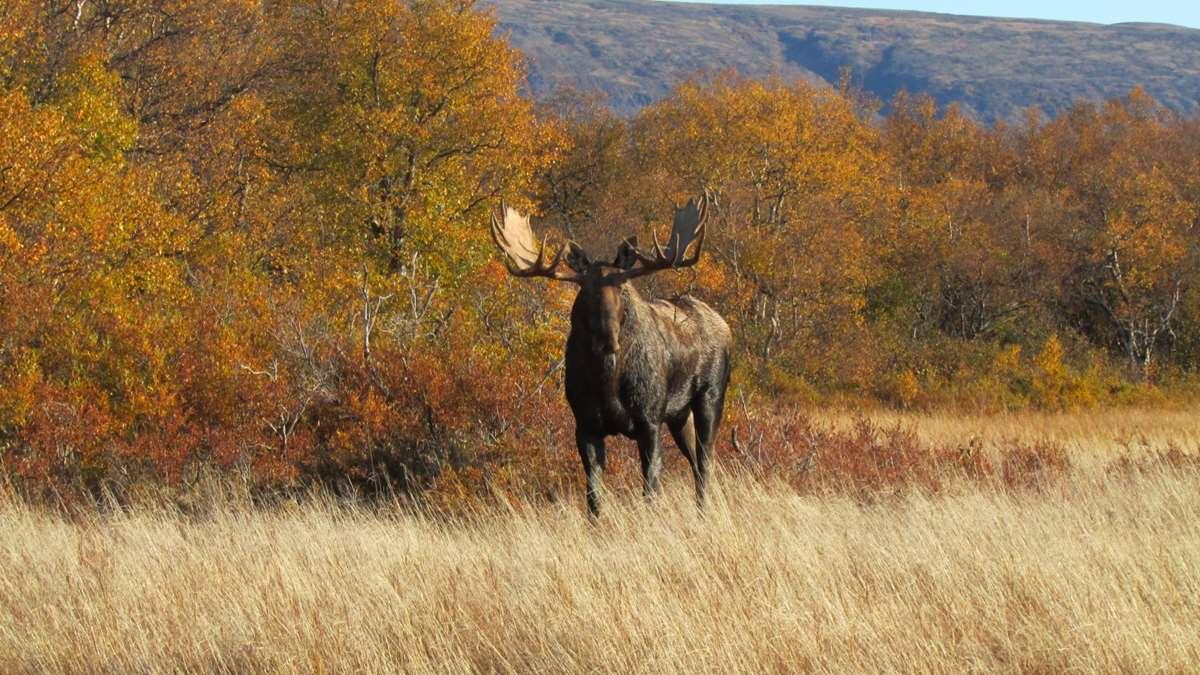 A big bull moose
