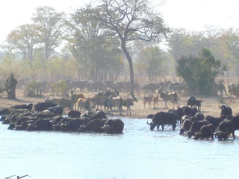 A big herd of buffalo and eland at a waterhole