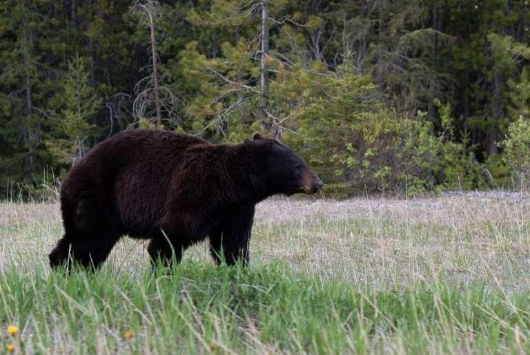 maine black bear 1.jpg
