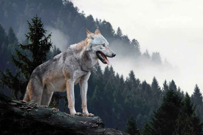 a wolf on a rock