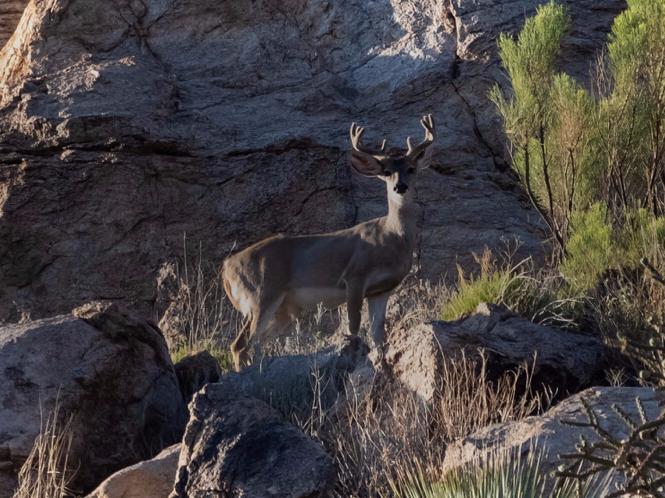 coues deeer