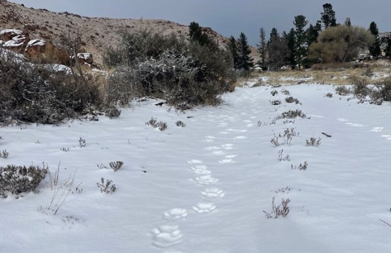 Lion tracks in the snow
