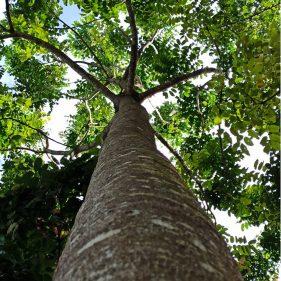 Árvore do Mogno Africano