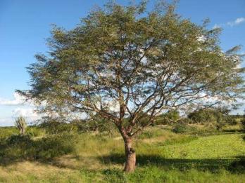 outros nomes para Amburana: ou umburana, cerejeira, cumaru-do-ceará, amburana-de-cheiro, cumaru-de-cheiro