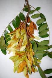 amendoim-folhas-frutos
