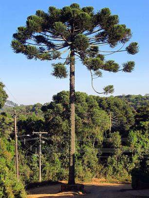 Araucária ou pinheiro-brasileiro, pinheiro-do-paraná, pinho e curi.Ou