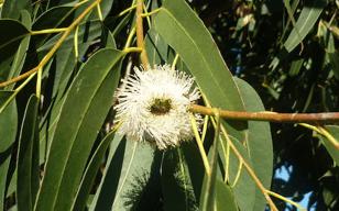 eucalyptus-folha