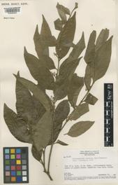 Pereira ou Acarirana, Pau-Pereira, Pau-Forquilha, Quinarana. Árvore da família das apocináceas de flores pequeninas.