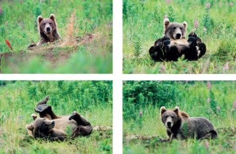 Den unga björnen spexade framför mitt tält och försäkrade sig om att jag såg på. Han blev min följeslagare under den närmaste veckan.