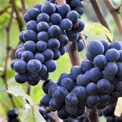 pinot nero grappoli