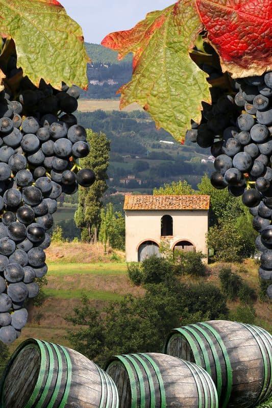 uva per vino gallo nero
