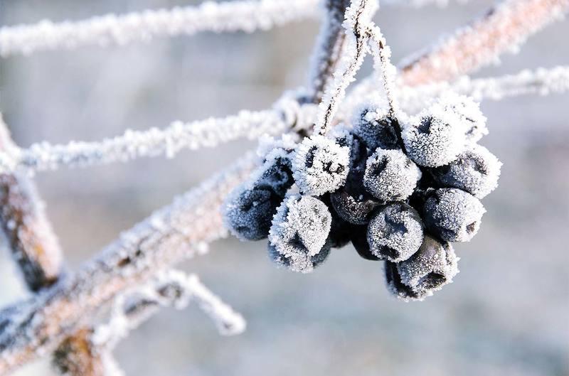 vini di ghiaccio icewine
