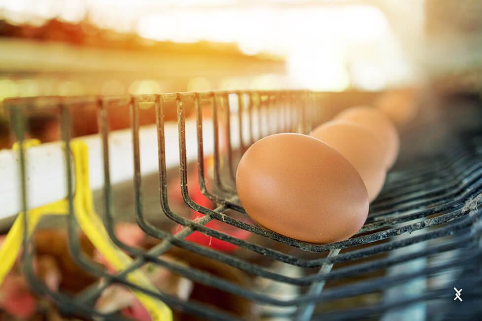 Não deixe os ovos tempo demais no ninho