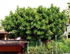 Grande albero di ficus elastica, accanto a una casa
