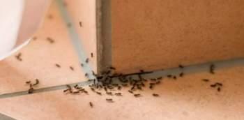 Come tenere lontane le formiche da casa. Colonna di formiche che cercano di entrare in casa