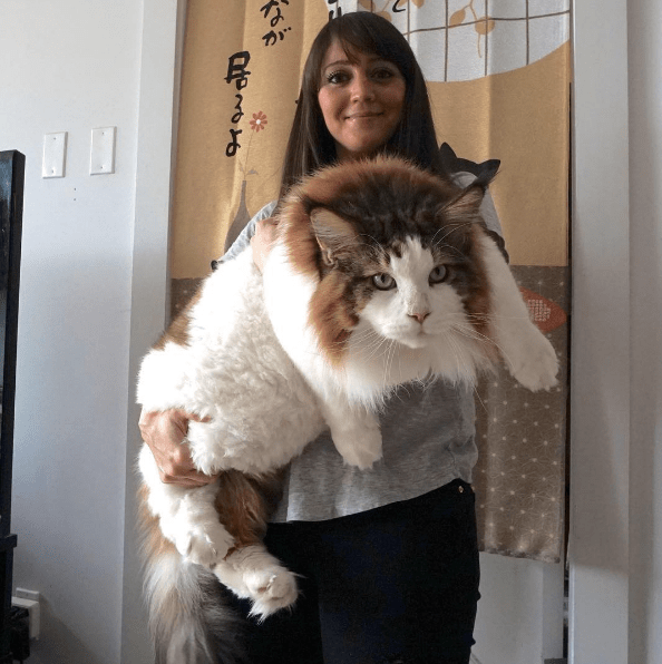 Resultado de imagem para gato Samson