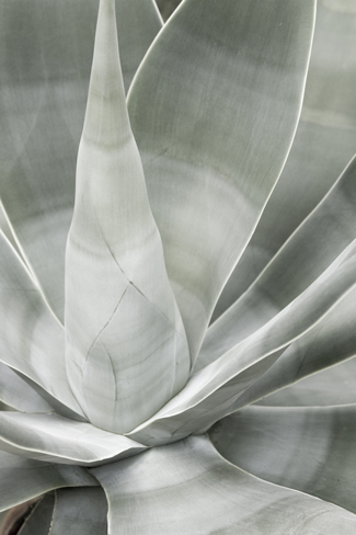 Fox Tail Agave by Cattie Coyle Photography