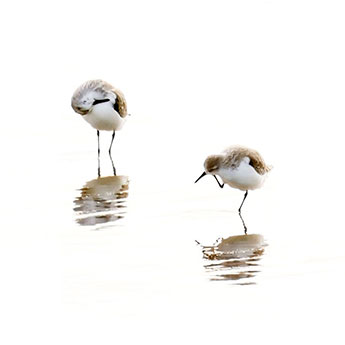 Sandpipers - Fine art bird photography by Cattie Coyle