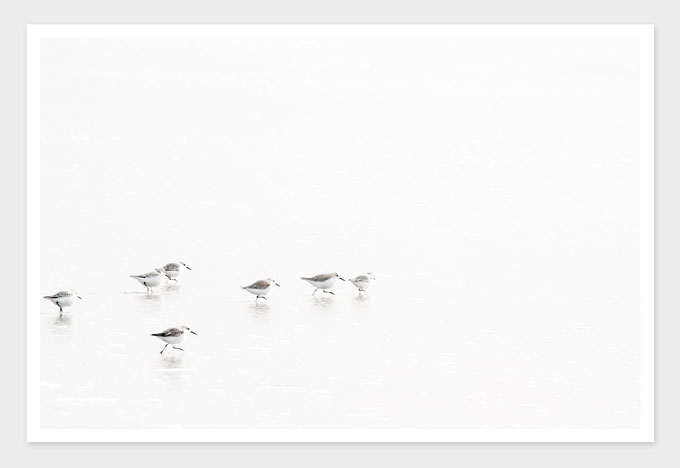 Sandpipers No 5 - Bird art print by Cattie Coyle Photography