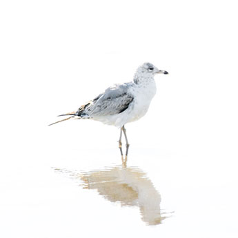 Seagull No 12 - Bird fine art print by Cattie Coyle Photography
