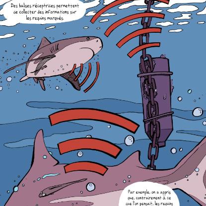 Topo Requins La Réunion