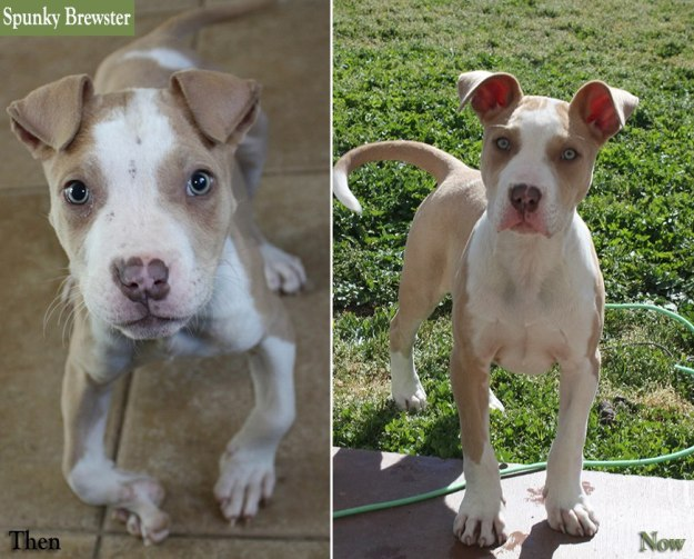 "The Plight of the ""Average Joe"" Dog | Chako Pit Bull Rescue Blog"