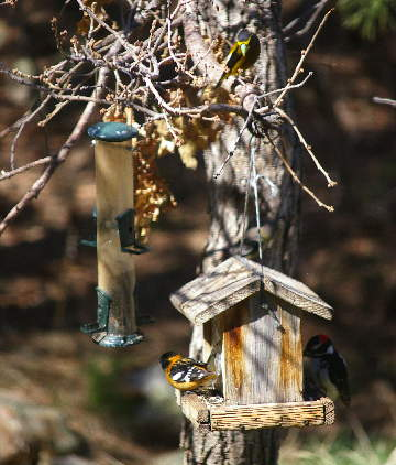 Black-headed grosbeak, evening grosbeak, downy woodpecker. Photo by Chas S.  Clifton